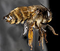 Anthophora plumipes, F, Right side, N.A 2013-04-19-14.20.59 ZS PMax (8693017482).jpg