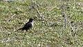 Anthus pratensis - Meadow Pipit 2021-03-27 01.jpg