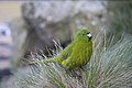 Antipodes Island Parakeet.jpg