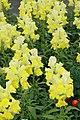 Antirrhinum majus Crown Yellow 1zz.jpg