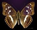 Apatura iris MHNT CUT 2013 3 18 Compiegne Dos.jpg