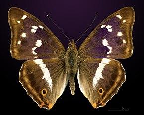 l'homme papillon en france