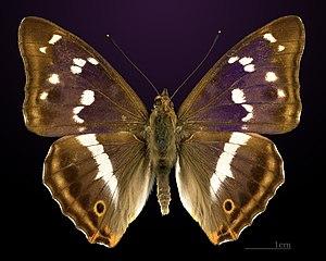 Apatura iris - Image: Apatura iris MHNT CUT 2013 3 18 Compiegne Dos