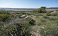 Aphyllanthes monspeliensis, Île Saint-Martin, Gruissan cf01.jpg