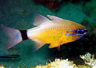 Ring-tailed cardinalfish species of fish