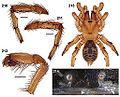 Aptostichus killerdana anatomy.jpg