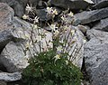 Aquilegia pubescens plant in rocks.jpg