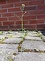 Arabidopsis thaliana sl19.jpg