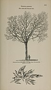 Arboretum et fruticetum britannicum, or - The trees and shrubs of Britain, native and foreign, hardy and half-hardy, pictorially and botanically delineated, and scientifically and popularly described (14781693014).jpg