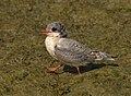 Arctic tern (14643324468).jpg