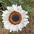 Arctotis fastuosa-IMG 3139.jpg