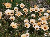 Arctotis stoechadifolia P. J. Bergius, Frühlingsblüte West Coast N.P. P1030626