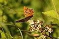 Argynnis paphia (35902856746).jpg