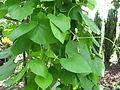 AristolochiaTomentosa.jpg