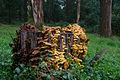 Armillaria luteobubalina 151150.jpg
