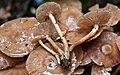 Armillaria novae-zelandiae (G. Stev.) Boesew 144291.jpg