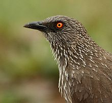 Arrow-marked Babbler (Turdoides jardineii).jpg