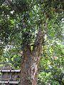 Artocarpus heterophyllus (Jack fruit) tree in RDA, Bogra 02.jpg