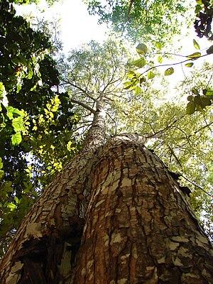 Tocantins-Araguaia-Maranhão moist forests - Mahogany Swietenia macrophylla