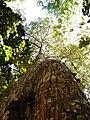 Arvore Mogno Amazonia.jpg