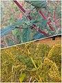 Arya - amaranthus spinosus - bayam duri di Kramat 2019 collage.jpg
