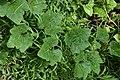 Ash Gourd-Benincasa hispida.jpg