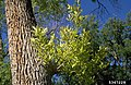 Ash Yellows Witches'-broom.jpg