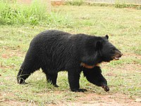 Asian Black Bear Ursus thibetanus by Dr. Raju Kasambe 01.jpg