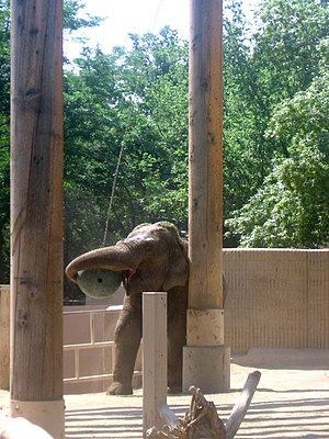 Behavioral enrichment - An Asian elephant in a zoo manipulating a suspended ball provided as environmental enrichment.
