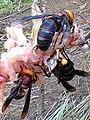 Asian gianthornet (Vespa spp.).jpg