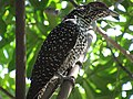 Asian koel (female) - Sri Lanka - 01.jpg