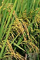 Asian rice (Oryza sativa) നെല്ല്. (32398084044).jpg