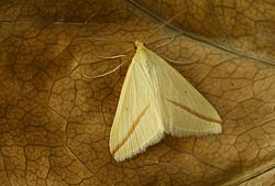 Aspitates gilvaria - male (2009-08-23) 03.jpg