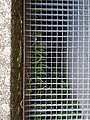 Asplenium trichomanes subsp. quadrivalens sl1.jpg