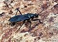 Assassin Bug 20 mm (26675746081).jpg