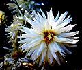 Asteraceae Kaktusdahlie Hybride Furka.JPG