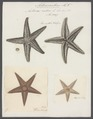 Asterias rubens - - Print - Iconographia Zoologica - Special Collections University of Amsterdam - UBAINV0274 108 02 0006.tif