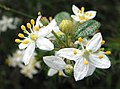 Asterolasia asteriscophora subsp. albiflora.jpg