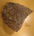 Asteroxylon fossil.JPG