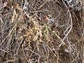 Astragalus miser (3311587850).jpg
