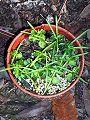 Atractocarpus chartaceus seedlings.JPG