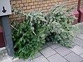 Ausgediente Weihnachtsbäume.JPG