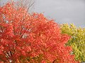 Autumn Red Maple PA040017.jpg