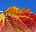 Autumn leaf (2874709313).jpg