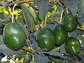 Avocats de Bamougong.jpg