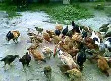 Ayam kampung - Wikipedia Bahasa Melayu, ensiklopedia bebas 8e1ca60232ca