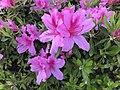Azalea flowers 20190412.jpg
