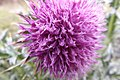 Bókoló bogáncs kinyílt virága3.JPG