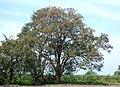 Búcaro - Písamo (Erythrina fusca) - Flickr - Alejandro Bayer.jpg