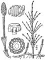 BB-0089 Equisetum arvense.png